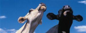 cow Muslim Belief